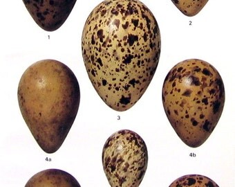 Bird Eggs - Whimbrel, Eskimo Curlew, Bartailed Godwit, Hudsonian Godwit - Small Bird Eggs Print - 1978 Vintage Book Page - 8 x 5