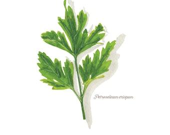 Flat Parsley Herb Watercolor Illustration Print