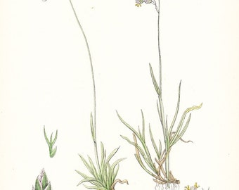1902 British Botany Print - Meadow Grass - Vintage Antique Sowerby Art Illustration Book Plate Landscaping Farming Framing 100 Years Old