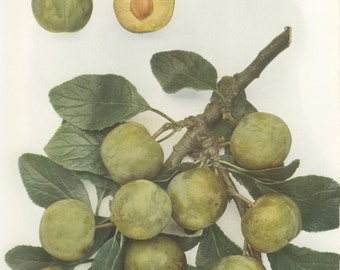 Vintage Plum Print, Green Gage, Botanical 8 x 10 Photo Book Plate 14, 1949, Heritage Fruit, Green, Ripe, English Plums, Frameable Art