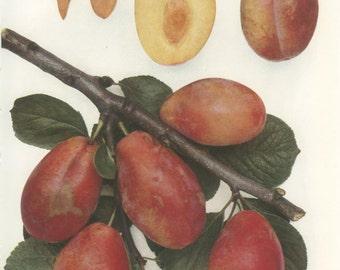 Vintage Plum Print, Giant Prune, Botanical 8 x 10 Photo Book Plate 13, 1949, Heritage Fruit, Red, Ripe, English Plums, Frameable Art