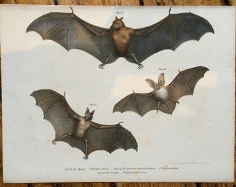 1860 ANTIQUE BAT LITHOGRAPH -  assorted flying bats original antique print chiroptera vampire bat print - fledermaus pipestrello
