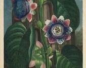 antique botanical illustration passion flowers DIGITAL DOWNLOAD