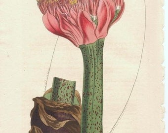 Antique Botanical Print/Engraving with original hand-coloring from Curtis' Botanical Magazine, Tiger-spotted Blood Flower, 1815