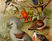 1900 Antique print of COLORFUL DOVES and PIGEONS, different species. Exotic Birds. Ornithology. Tropical Birds. 117 years old print.