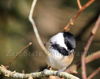Wildlife Photography Print. Bird Watcher Wall Art. Bird Photography. Chickadee Photo Print, Framed Photography, or Canvas Print. Home Decor.