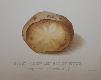 1888 - Rotten Potato Antique Print - Vintage Bookplate from The 1888 Commissioner of Agriculture