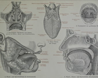 Oral and nasal cavities print.  Anatomy engraving. Old book plate, 1904. Antique  illustration. 110 years lithograph. 9'6 x 6'2 inches.