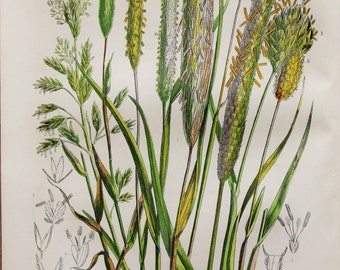 Anne Pratt Antique Botanical Print - Grasses,
