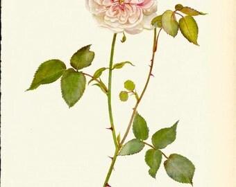 VINTAGE ROSE PRINT Pink Rose 1965 Botanical Print - Perfect Gift for Anniversary, Wedding, Birthday, Graduation, Christmas (Rose 9)