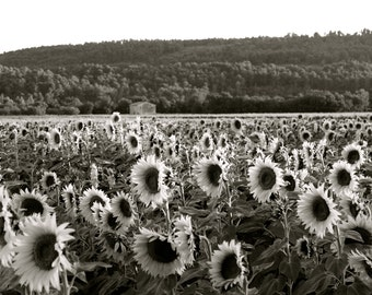 "France Photography, French Wall Art, ""Sunflower Field No.2"" Black and White Series"