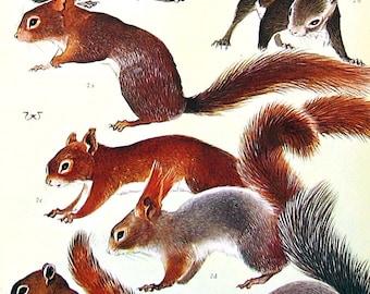 Animal Print - Beavers, Squirrels - Mountain Beaver, Red Squirrel, Gray Squirrel - 1973 Vintage Book Page - Animal Encyclopedia - 10 x 7