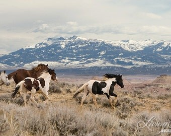McCullough Peaks Stallions Released - Fine Art Wild Horse Photograph - Wild Horse -  Washakie - Fine Art Print