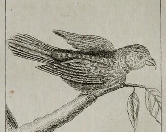 1792 Antique print of a TAHITIAN PARAKEET. Parrots. Lory. Lorikeet. Cockatoo. Ornithology. 224 years old rare Buffon copper engraving