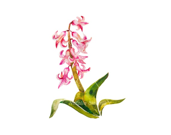 Pink hyacinth on white background digital download from original watercolor , country illustration painting clip art
