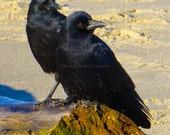 Crow Art ~ Bird Print ~ Nature Photography ~ Beach Decor  ~ Black Crow Photo ~ Ocean Photograph ~ Pacific Coast Fine Art, Friends Love Twins