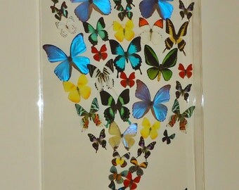 "20""X30""  butterfly display,framed butterflies, mounted butterflies,  real butterfly art, butterflies in cases"