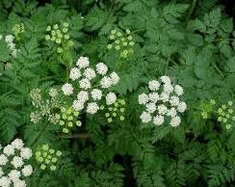 Poison Hemlock Seeds, Conium maculatum, Historical Witch's Plant, Herb Bennet, Poison Parsley