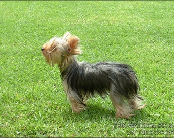 24x36 Poster; Yorkshire Terrier
