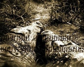 crocs photograph sepia crocodile nature animal encounture love couple close