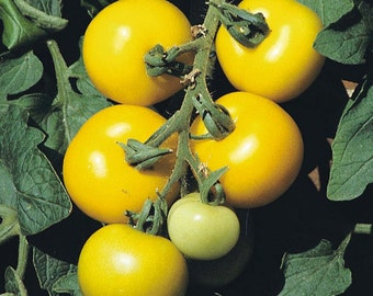 Golden Sunrise Tomato seeds