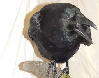 Taxidermy carrion crow, Stuffed crow, rams horn, wooden base