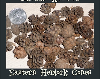 400 Eastern Hemlock Cones  for  Potpourri Jewelry Crafting