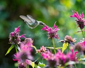 Hummingbird with Bee Balm - Photo Greeting Card