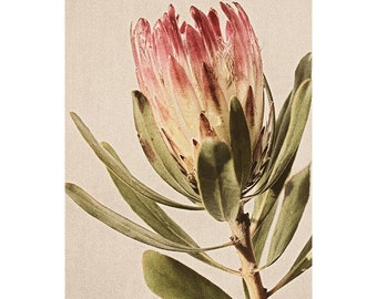 Protea Flower Photograph, Modern Bohemian Pink Flower Photo, 8 x 10 Floral Art Print, Vintage Inspired Home Decor, Botanical Art Print