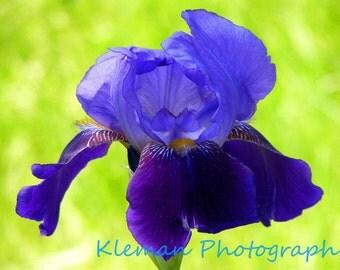 Purple Bearded Iris #1 Greeting Card