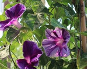 Gorgeous Japanese Morning Glory Purple Blizzard seeds