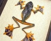 Real Framed Flying Parachute Frog Female Rhacophorus Reinwardtii  A1301F