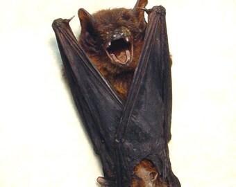 Real Framed Taxidermy Bat-Pipistrellus Javanicus Resting Shadowbox Display B1326