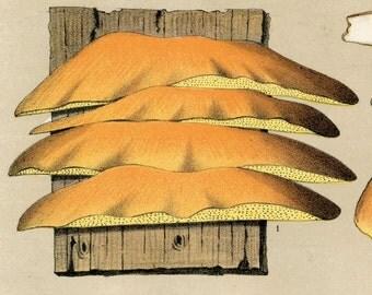 1895 Vintage Botanical Print of Mushrooms. Edible Fungi.  Polyporus Sulphureus and Fistulina Hepatica. Plate 37