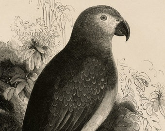 1840s-1850s Antique Engraving of the Common Grey Parrot (Psittacus crythacus)