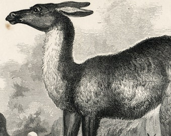 1840s-1850s Antique Engraving of the Llama