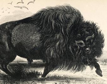 Vintage Print of American Bison - 1840s-1850s