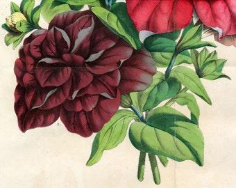 1863 Rare Vintage Botanical Print of Petunias - Sonne von Erfurt, Graf Euleburg, J. G. Ulmer - Handcolored - German