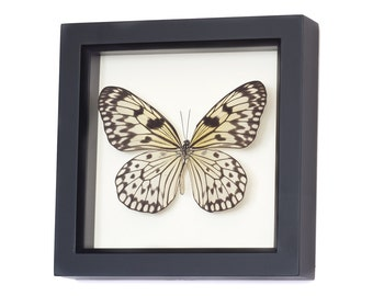 Real Framed Butterflies Rice Paper Insect Display UV glass