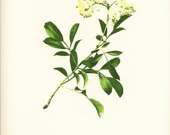 "Letterpress printed botanical print ""Mexican Elderberry"