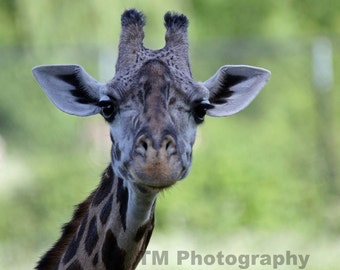 Giraffe - Giraffe Eyes - Animal Eyes - Wildlife - Wildlife Photography - Giraffe Close Up