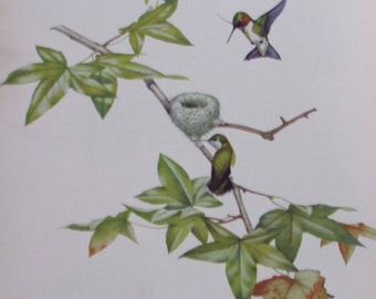 Menaboni's Birds/RUBY-THROATED HUMMINGBIRD/1950s Color Plate/Bookplate/Unframed Book Page Print