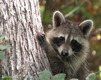 Tree Hugger Raccoon 8 x 10 Fine Art Photo /Nature Photography Home Decor Critter Talk