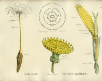 Sunflower, Antique Botanical Print, 1874, Yellow,  Plate 52, Natural History, Vegetable Kingdom, Hand Colored or Black & White