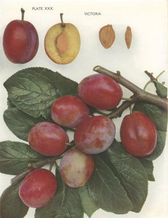 vintage plum print victoria plum botanical 8 x 10 photo book. Black Bedroom Furniture Sets. Home Design Ideas