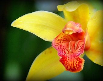 ACEO Orange Mouth Orchid