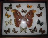 atlas moth  sourounded by a collage of mounted butterflies spread lepidoptera