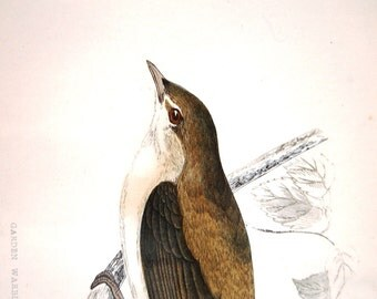 Original Antique Bird Print Garden Warbler by Alexander Francis Lydon 1888 Mounted Hand Coloured from England UK