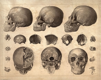 Skull Diagram Anatomy Print - Vintage Illustration Reproduction. Human Body Educational Chart Biology Classroom poster medicine - CP104