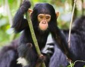 Baby Chimpanzee Photo Pri...